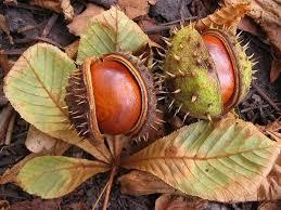 Chestnuts in pod