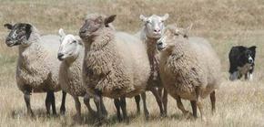 Sheep_2_2